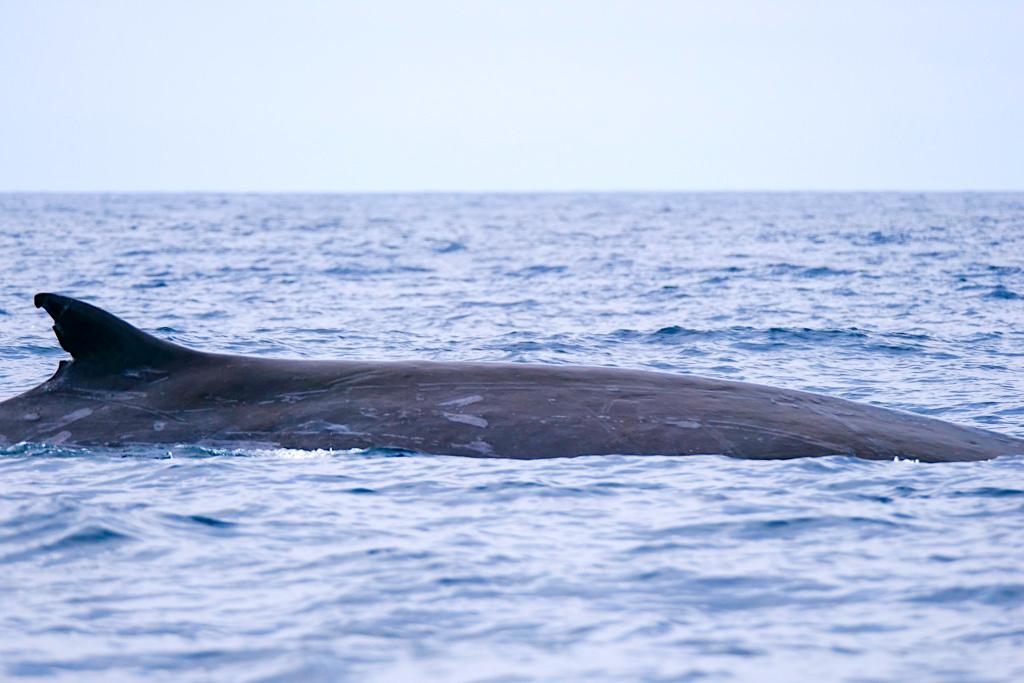 Finnwal - Erkennungsmerkmal ist die markante Rückenflosse - Walbeobachtung auf Pico - Azoren