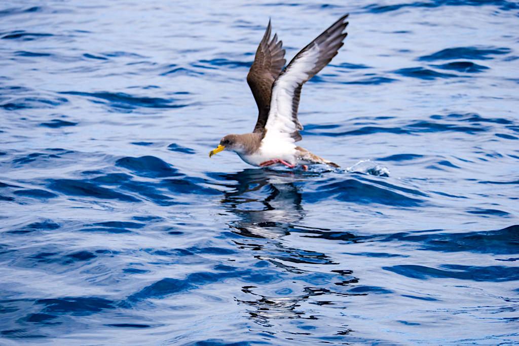 Gelbschnabel-Sturmtaucher oder Cory's Shearwater ist der am häufigsten anzutreffende Brutvogel der Azoren