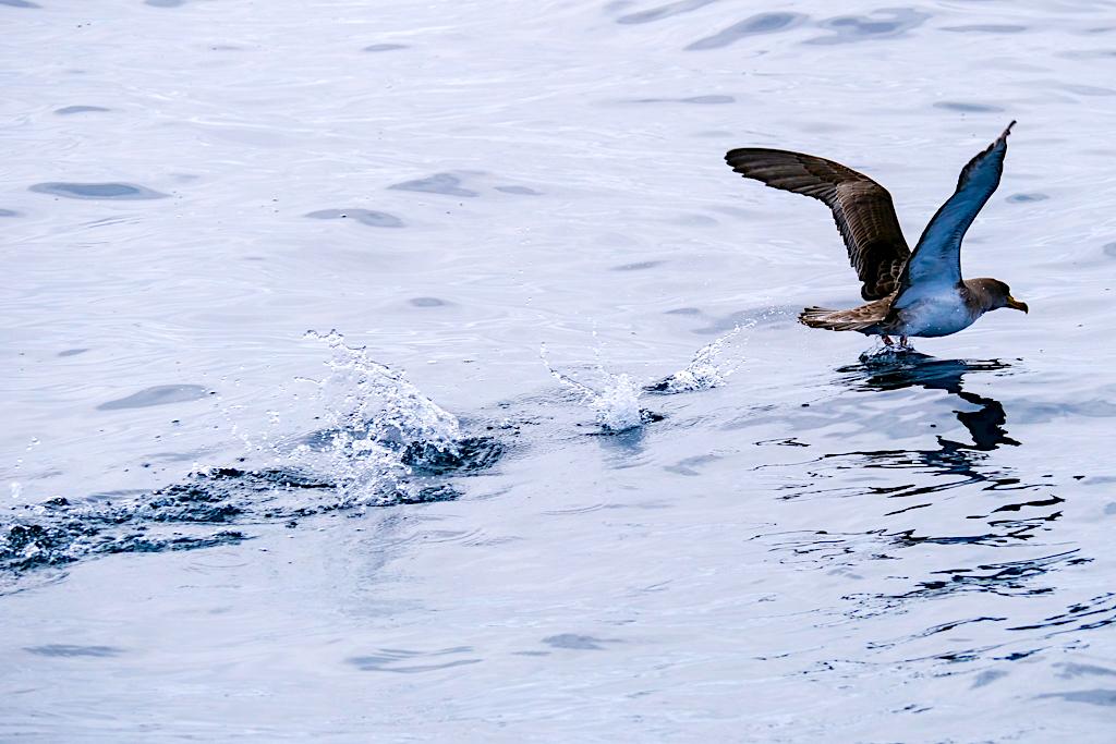 Gelbschnabel-Sturmtaucher - Pico - Unüberhörbarer Zugvogel der Azoren