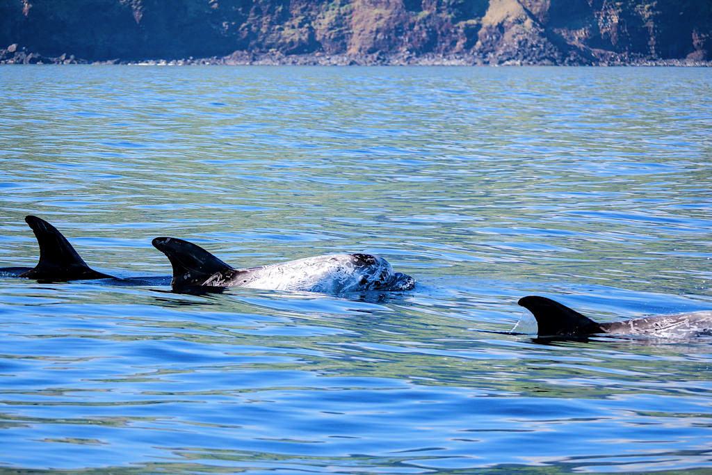 Rundkopfdelfine oder Risso's Dolphins - Delfin- und Walbeobachtung auf Pico - Azoren
