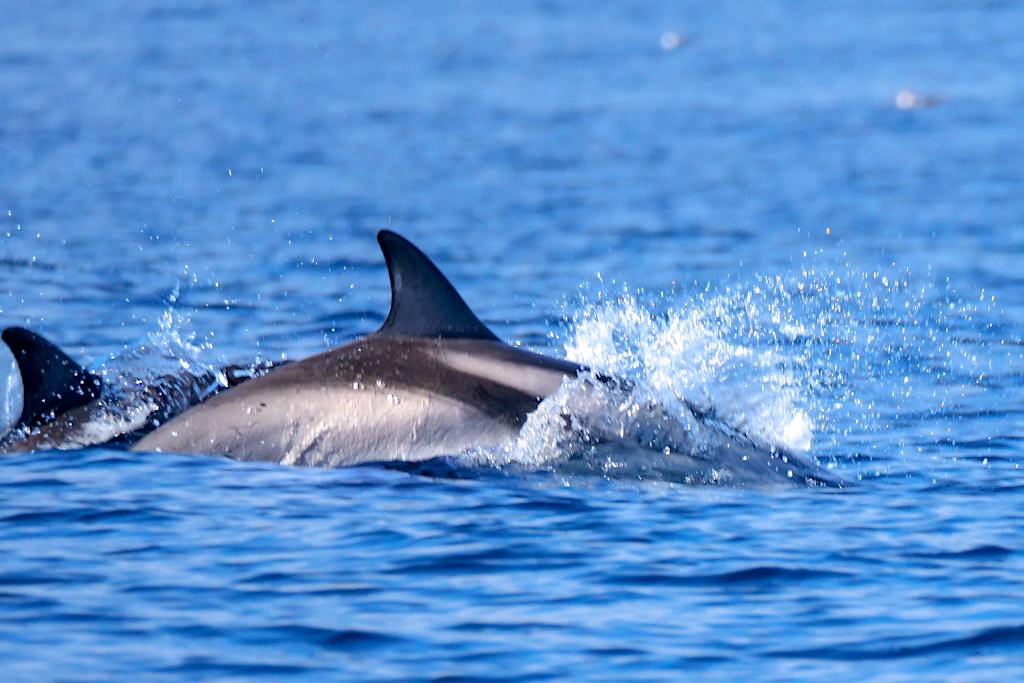 Streifendelfine oder Blau-Weiße-Delfine - Häufig vorkommende Flecken-Delfinart auf den Azoren