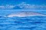 Walbeobachtung auf Pico & beste Azoren-Insel für Blauwale, Finnwale, Pottwale