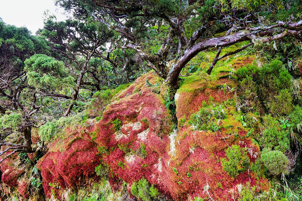Caldeira da Cima - feurig rote Moosfelsen faszinieren auf der Wanderung - Sao Jorge, Azoren