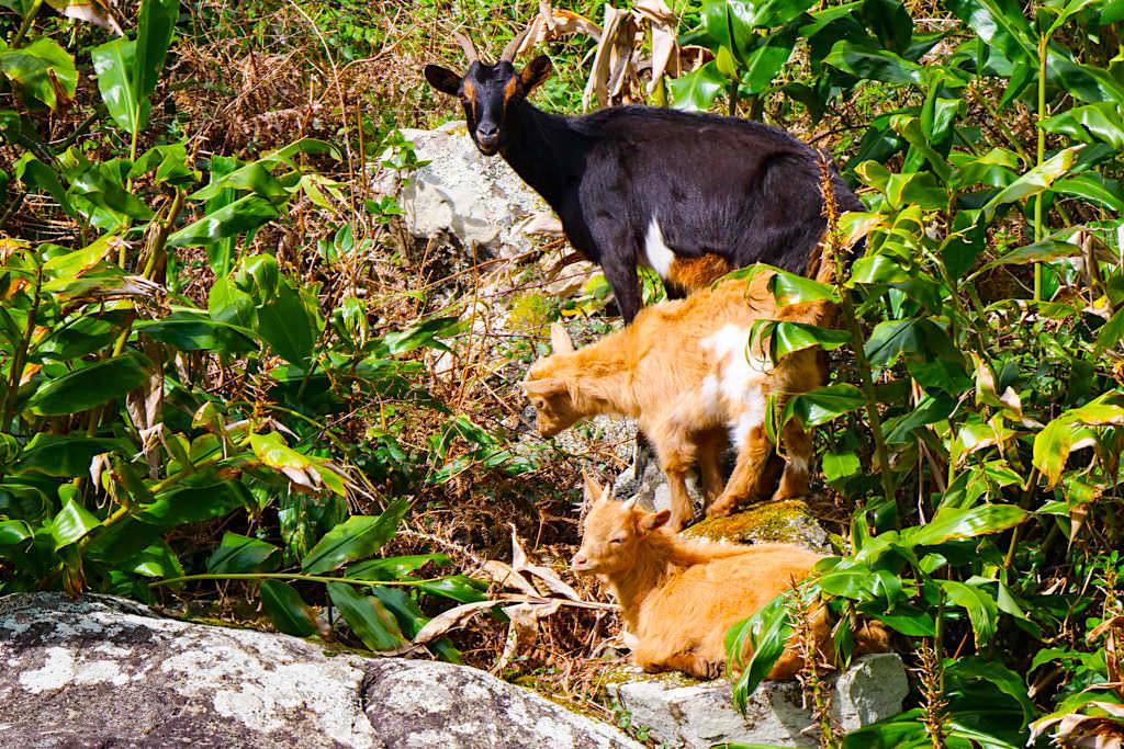 Caldeira da Cima - Wilde Ziegen auf der schönsten Sao Jorge Wanderung - Azoren