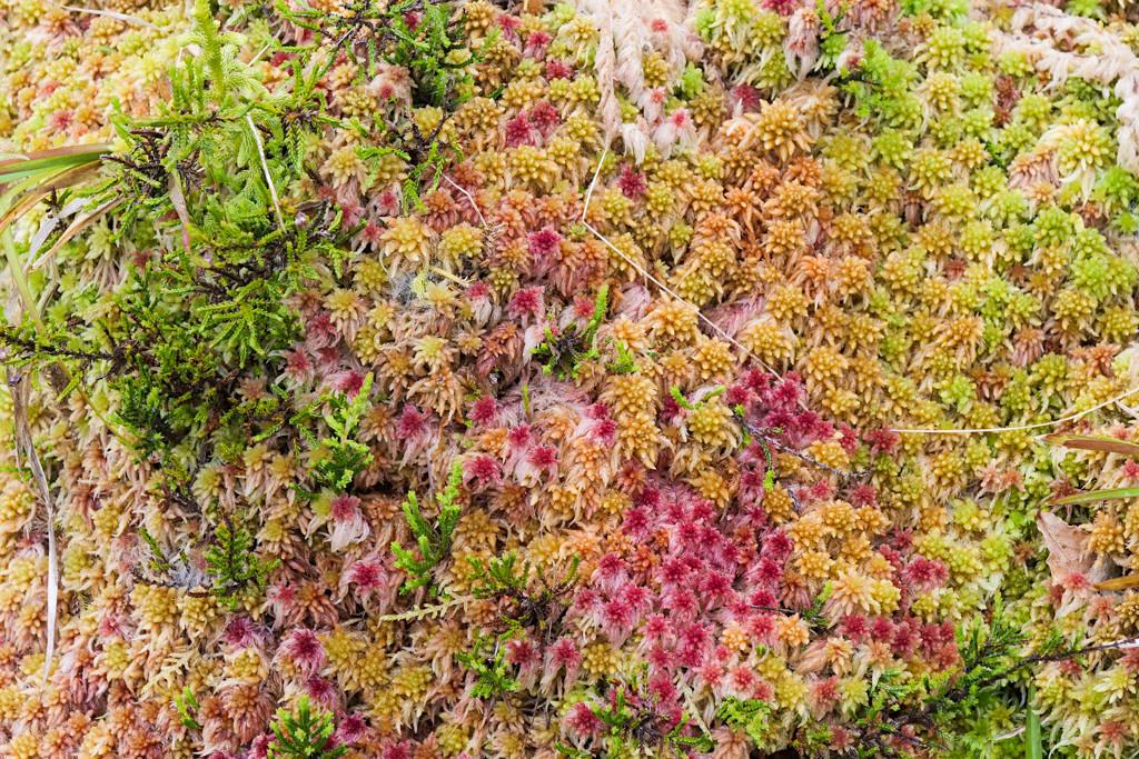 Furnas do Enxofre - Wunderschöne, bunte Torfmoose - Terceira - Azoren