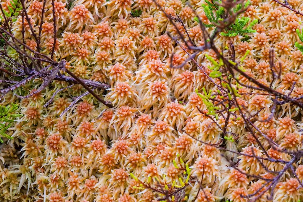 Faszinierende Welt der Pflanzen: Torfmoose bei Furnas do Enxofre - Terceira - Azoren
