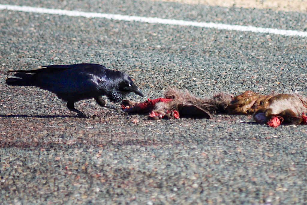 Australian Raven oder Neuhollandkrähe - Putzkolonne der Straßen im Outback - Western Australia