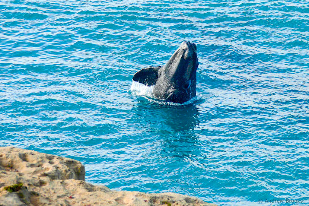 Head of Bight - Walsaison von Juni bis Oktober für Südkaper bzw. Southern Right Whales - Nullarbor Highlights, South Australia