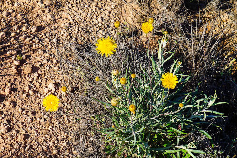 Nullarbor - Blumen am Wegesrand nach dem Regen - Western Australia