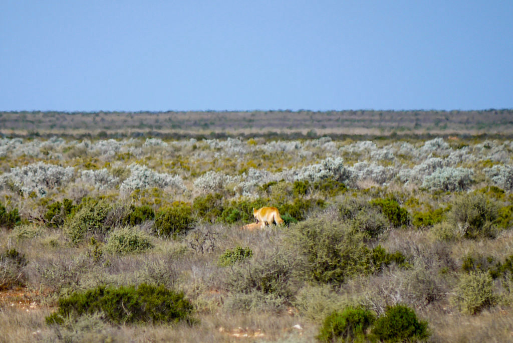 Nullarbor: Roadtrip durch Australiens Outback - Wildlebende Dingos - South Australia