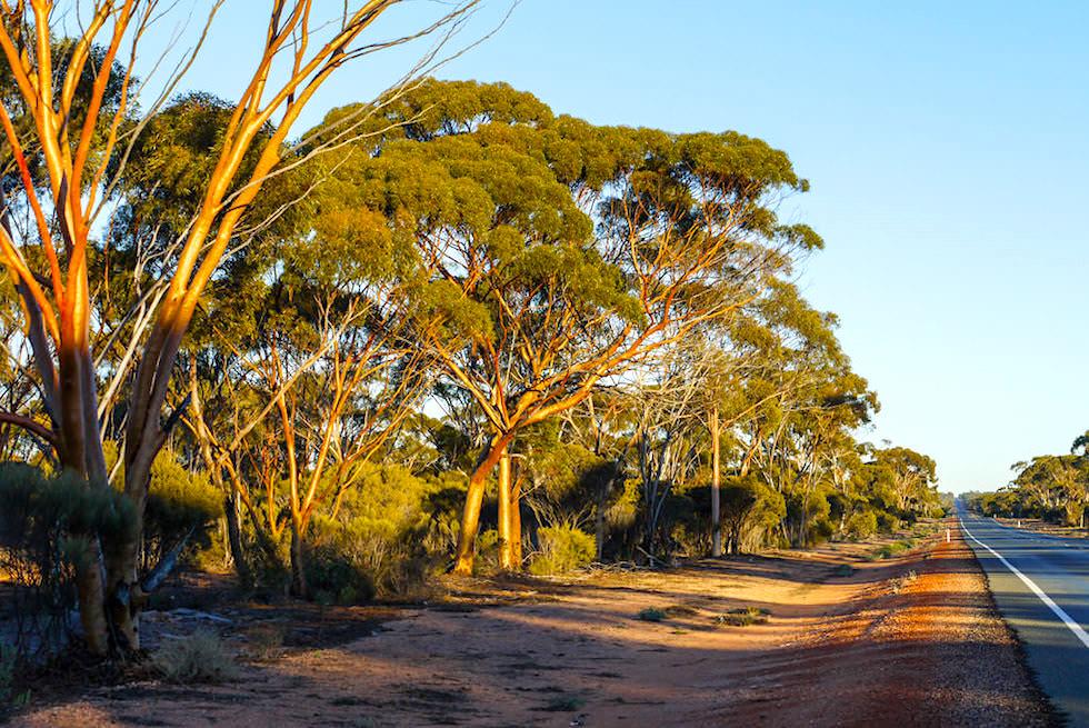 Nullarbor Raodtrip - Eukalyptus-Wälder leuchten in der Morgensonne - Western Australia