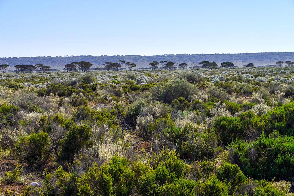 Nullarbor Plain in der Nähe von Border Village: viele Bäume, viel Grün - Western Australia