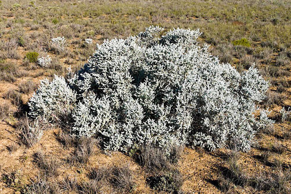 Nullarbor - Niedrige Sträucher wachsen auf der Karstwüste - South Australia