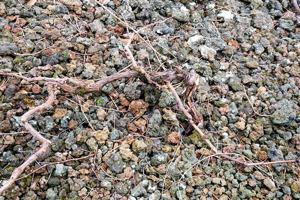 Pico Wein - Flache Rebenstöcke wachsen auf dem Boden entlang - Azoren