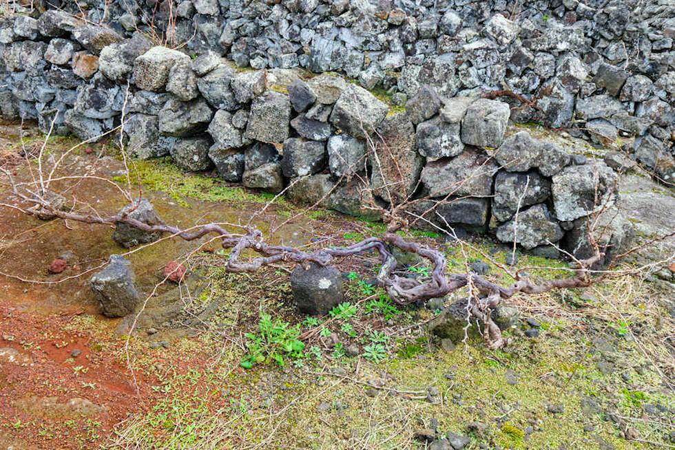 Pico Wein & Weinanbau - Mühsame, harte Arbeit und alles von Hand - UNESCO Welterbe - Azoren