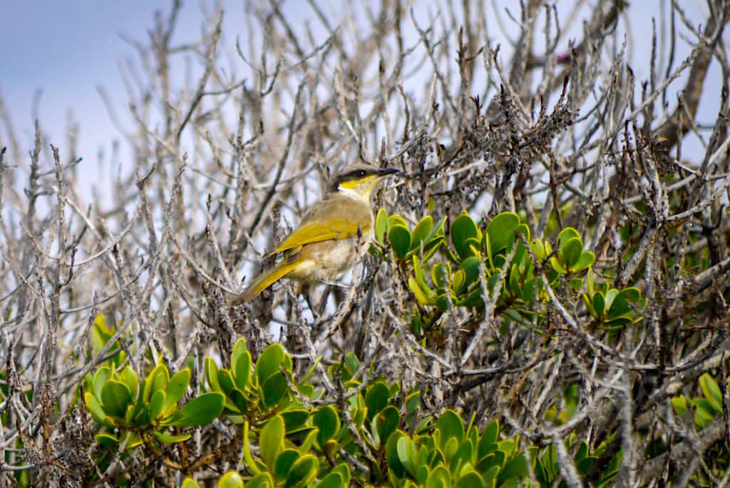 Singing Honeyeater (Gavicalis virescens) - Head of Bight, Nullarbor - South Australia