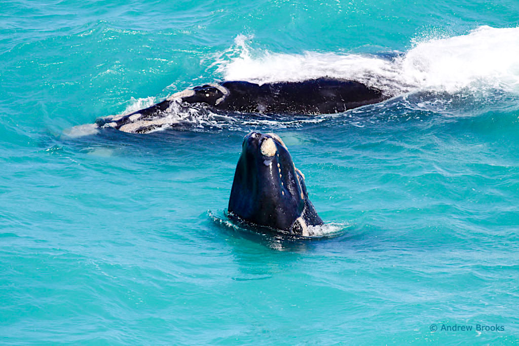 Südkaper Wale oder Southern Right Whales - Head of Bight & Nullarbor Highlight - Southern Australia