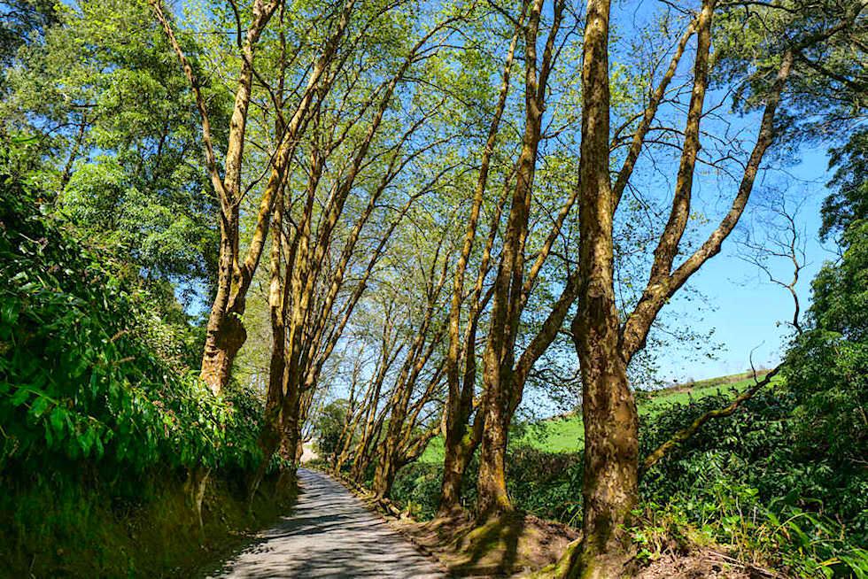 Baumallee auf dem Weg zum Lombadas Tal - Sao Miguel, Azoren