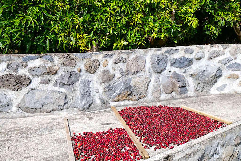 Cafe Nunes - Kaffeeplantage, Ernte & eigene Röstung - Sao Jorge, Azoren