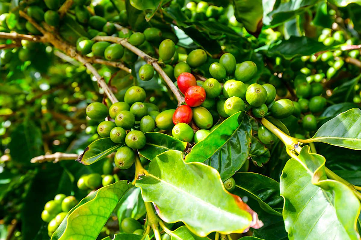 Cafe Nunes - Kaffeepflanzen & Kaffeeplantage - Sao Jorge, Azoren