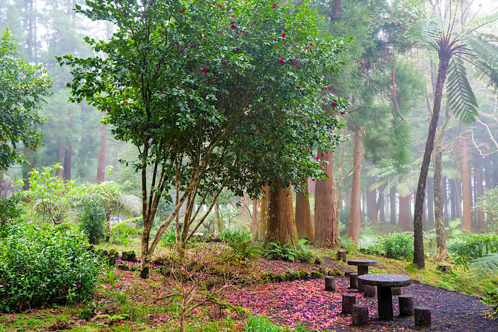 Parque Sete Fontes - Reich blühende Kamelienbäume bilden Farbtupfer im Wald - Sao Jorge, Azoren