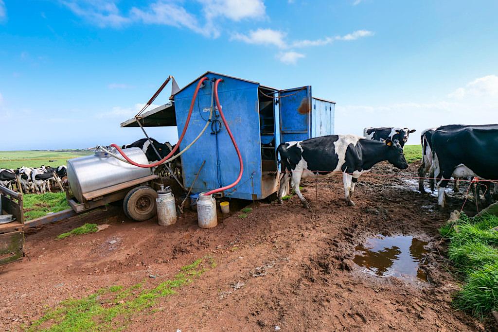 Sao Jorge - Milchwirtschaft ist ein bedeutender Wirtschaftszweig & bringt den besten Käse der Azoren hervor