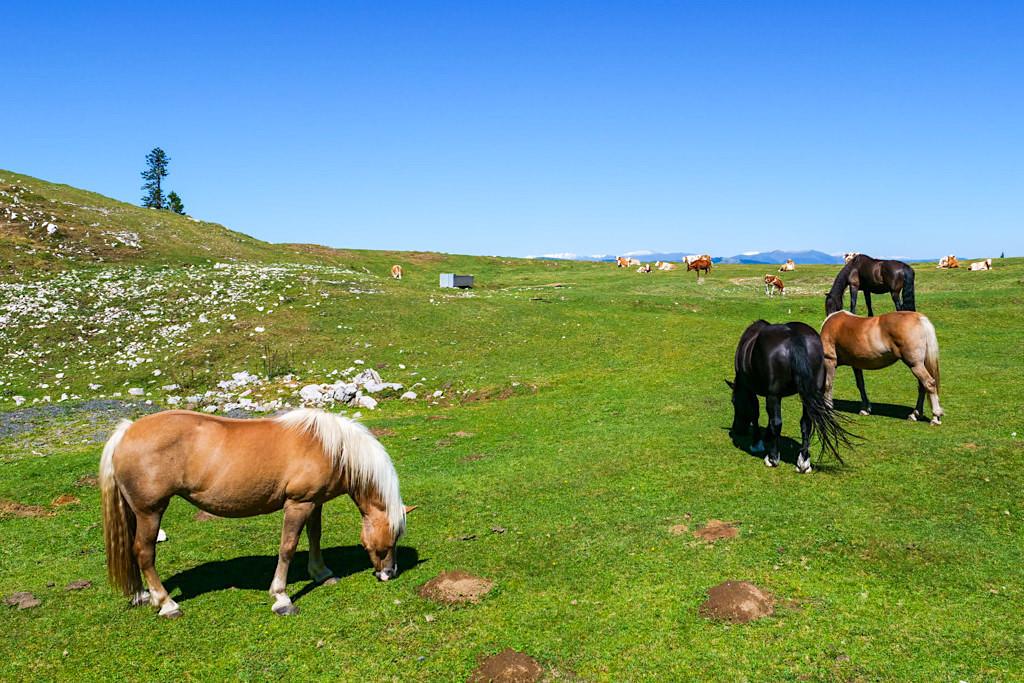 Dobratsch - Pferde grasen auf Almwiesen zu Beginn der Wanderung auf dem Normalweg - Kärnten, Österreich