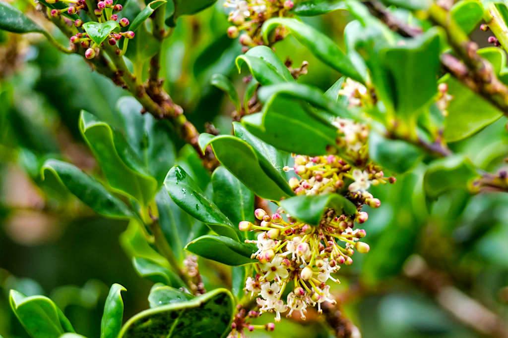 Azoren Stechpalme (Ilex perado azorica) in der Blüte - Endemische Pflanze der Lorbeerwälder im Osten von Sao Miguel - Nordeste