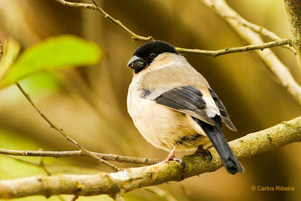Azorengimpel oder Priolo - stark bedrohte Vogelart, die es nur noch in einem kleinen Gebiet im Osten von Sao Miguel gibt - Azoren