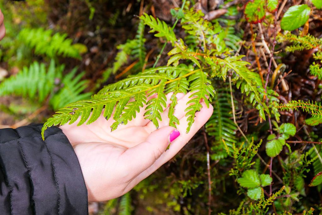 Wurzelnde Kettenfarn (Woodwardia radicans) mit Bissspuren des Azorengimpels oder Priolo in einem intakten Lorbeerwald im Osten von Sao Miguel - Azoren