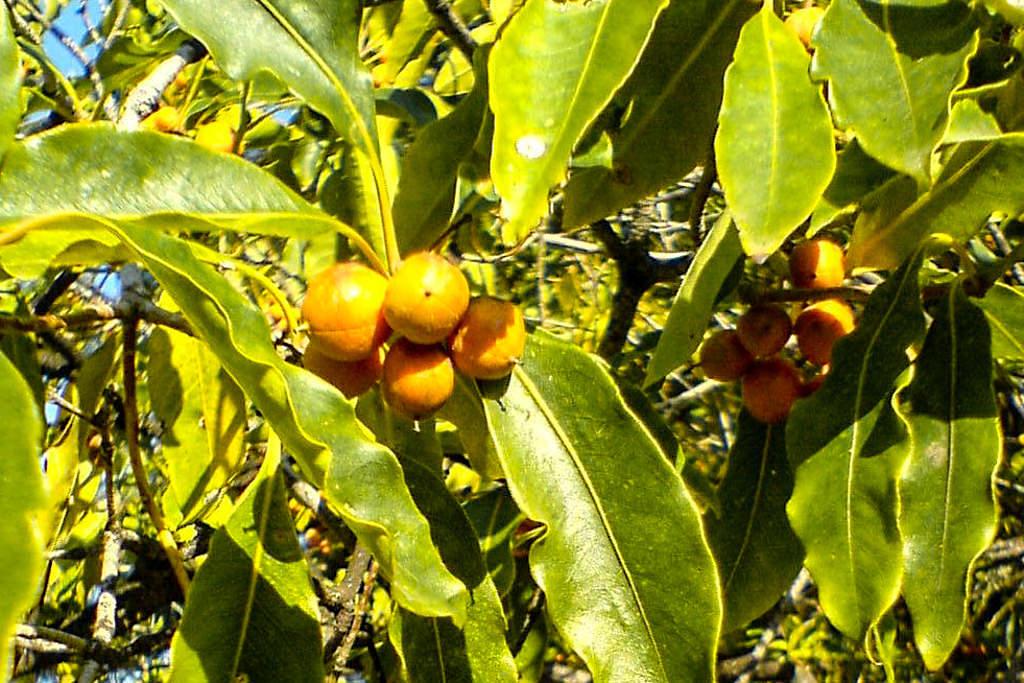 Krausblättriger Klebsame (Pittosporum undulatum) - Invasive Pflanze auf Sao Miguel, die die letzen Lorbeerwälder der Insel bedroht - Azoren