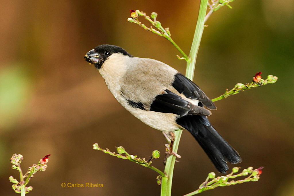Land of Priolo - Naturschutz, Symbol & Stolz der Region Nordeste auf den Schultern eines kleinen Vogels - Sao Miguel, Azoren