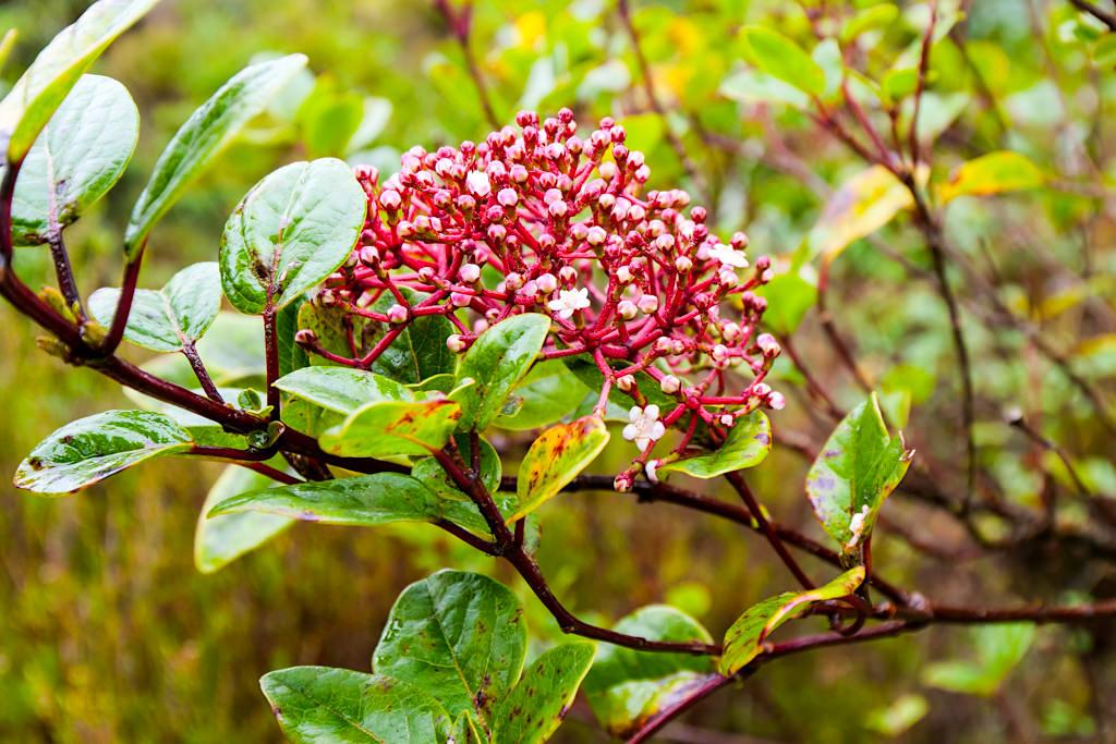Lands of Priolo - Großes, erfolgreiches Schutzprogramm für den Erhalt der Azorengimpel, Lorbeerwald, Hochmoore & endemische Pflanzen & Tiere im Osten bei Nordeste - Sao Miguel, Azoren