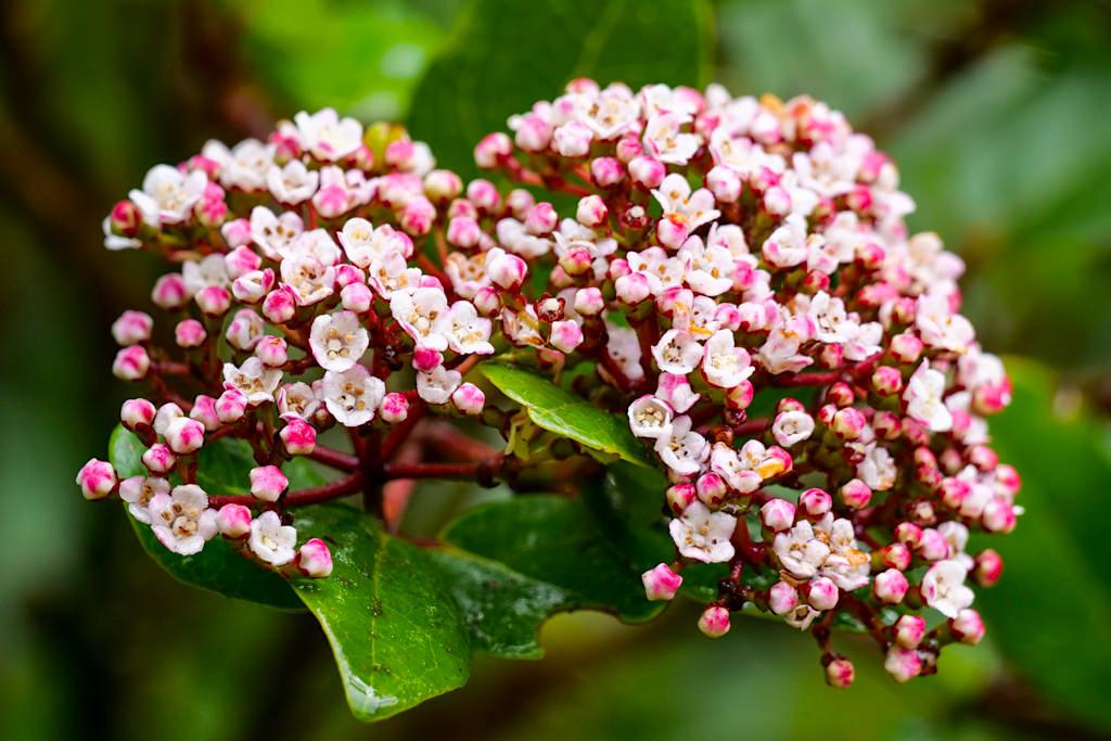 Lorbeerblättriger Schneeball (Viburnum treleasei) - bedrohte endemische Pflanze der Lorbeerwälder der Azoren - Sao Miguel