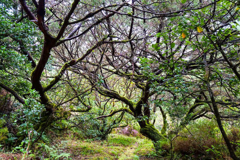 Ursprünglicher Lorbeerwald beim Centro do Priolo bei Nordeste - Sao Miguel - Azoren