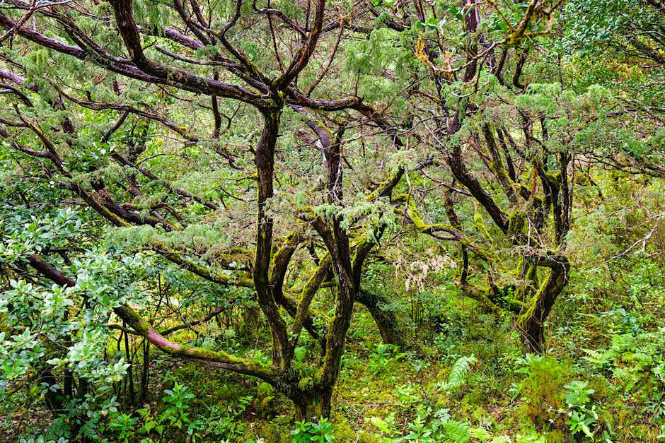 Letzter ursprünglicher Lorbeerwald in der Serra da Tronqueira - Nordeste - Sao Miguel, Azoren