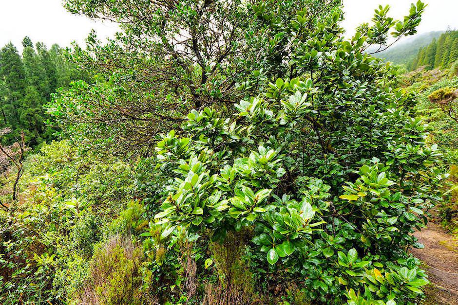 Ursprünglicher, einzigartiger Lorbeerwald in der Serra da Tronqueira im Osten von Sao Miguel - Azoren