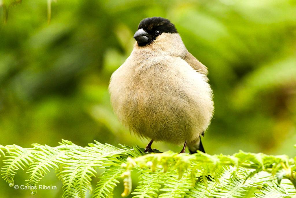 Priolo oder Azoren-Gimpel - stark gefährdeter Vogel, der ausschließlich in den Lorbeerwäldern im Osten von Sao Miguel vorkommt - Azoren
