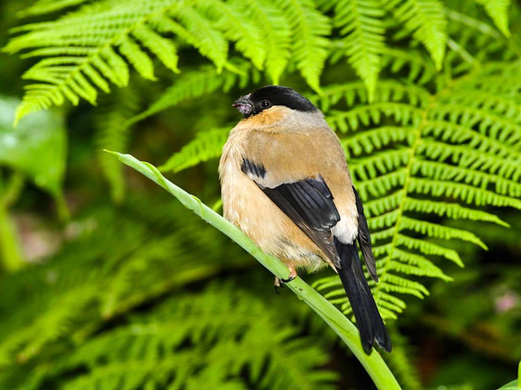 Priolo - Azorengimpel: eine der am stärksten bedrohten Vogelarten - Sao Miguel, Azoren