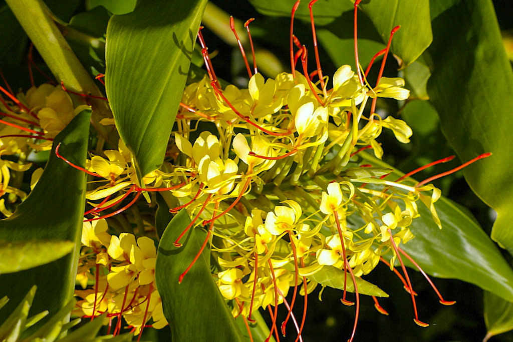 Schmetterlingsingwer - Aggressive, invasive Pflanze auf den Azoren und Bedrohung der ursprünglichen Lorbeerwälder im Osten von Sao Miguel