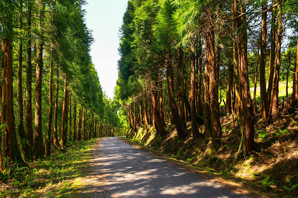 Sicheltanne oder Japanische Zeder wurde nach der Abholzung auf den Azoren angepflanzt - Invasive Pflanze, die die ursprünglichen Lorbeerwälder im Osten von Sao Miguel bedroht