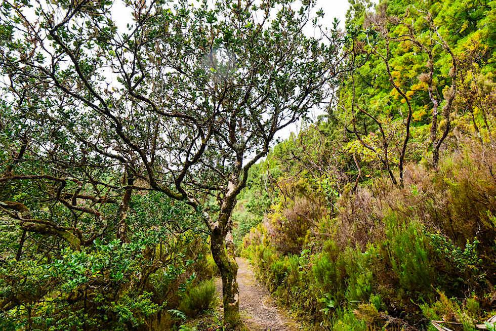 Ursprünglicher Lorbeerwald ist deshalb so wichtig, weil er ein Zeitfenster in die ältesten Wälder ist, wie sie vor 20 Mio Jahren existierten - Nordeste, Sao Miguel - Azoren