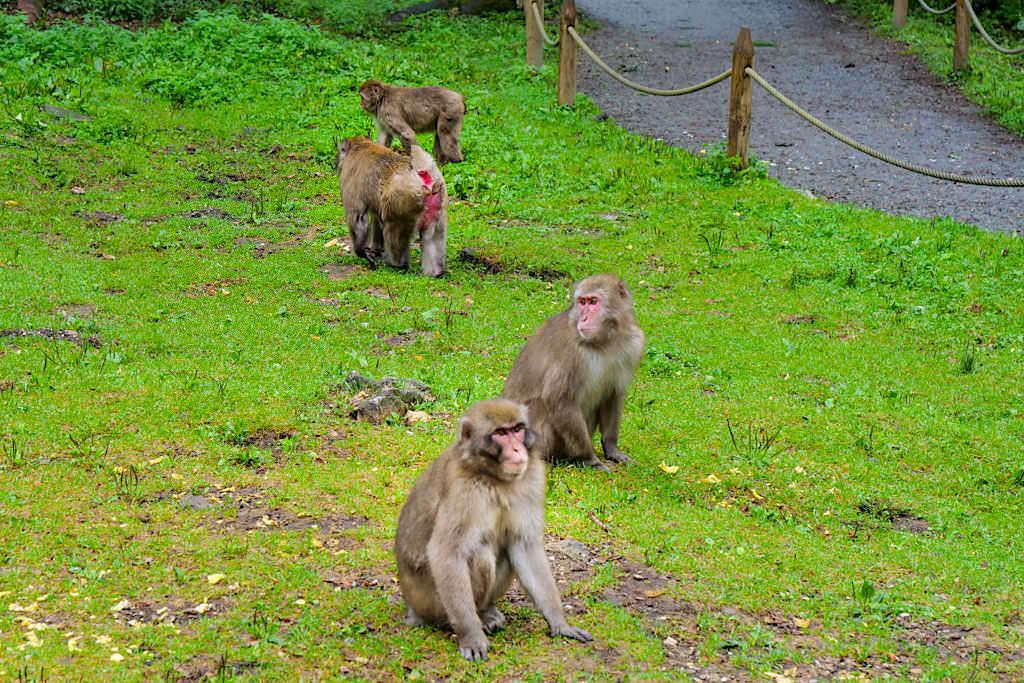 Abenteuer Affenberg - Fütterung der Makaken-Affen durch den Guide - Kärnten, Österreich