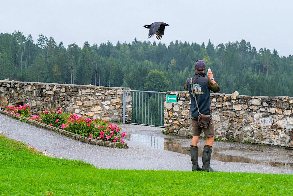 Adlerarena Burg Landkron - Vogelflugschau mit großem Raben - Kärnten, Österreich