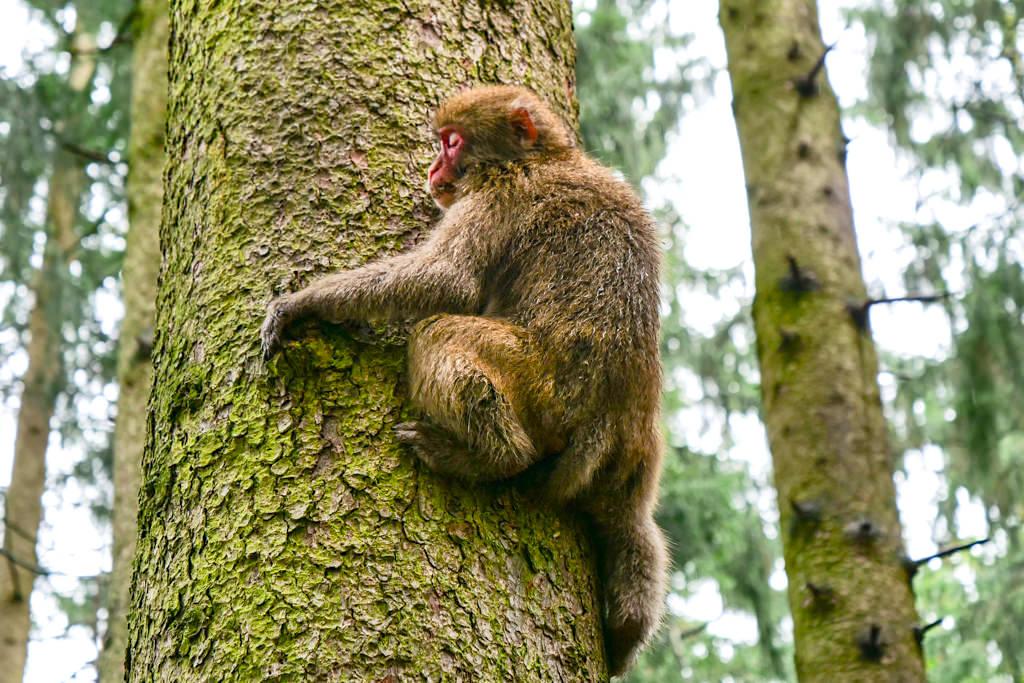 Abenteuer Affenberg - Junger Affe klettert auf den Baum - Kärnten, Österreich