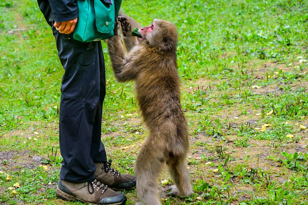 Abenteuer Affenberg Landskron - Affe holt sich Futter aus der Futtertasche - Kärnten, Österreich