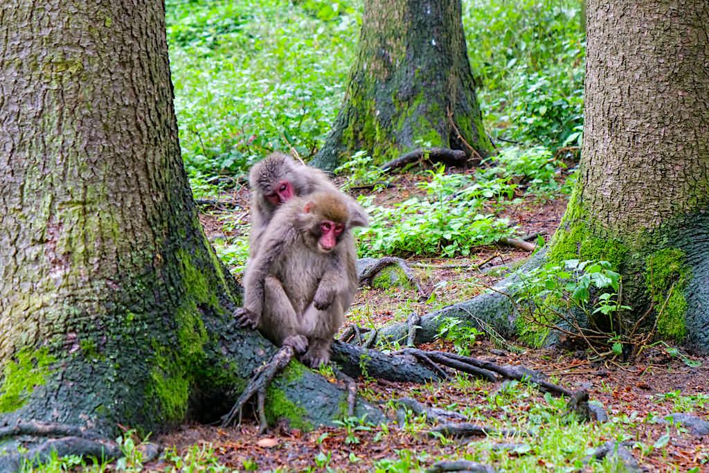 Abenteuer Affenberg - Fellpflege der Makaken-Affen gehört zum Sozialverhalten der Primaten - Kärnten, Österreich