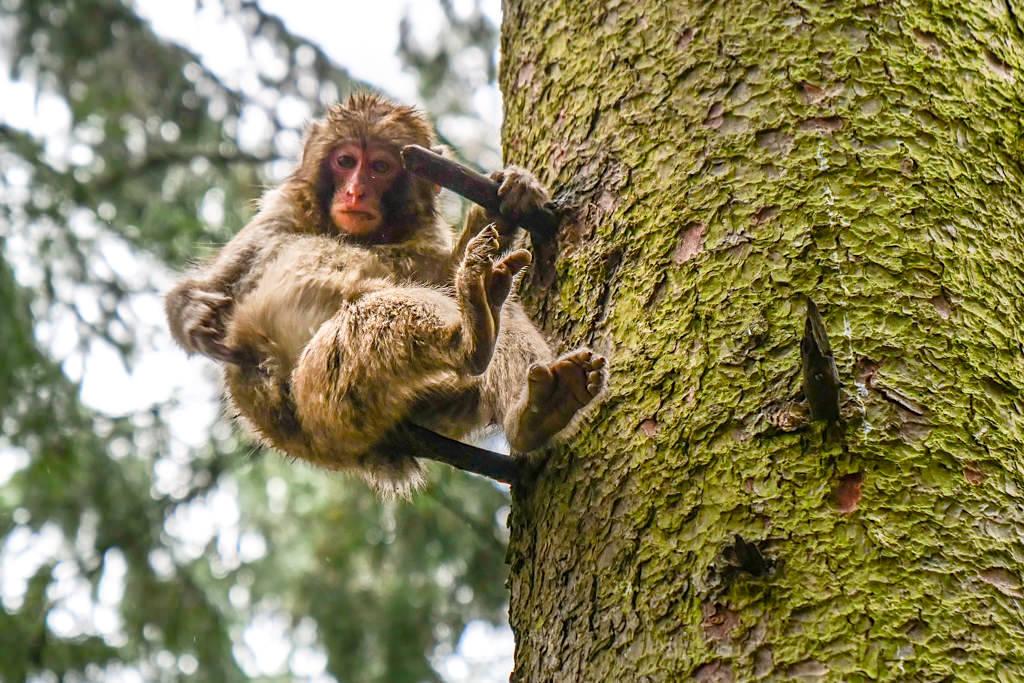 Affenberg Burg Landskron - Forschungsstation für Makaken-Affen - Kärnten, Österreich