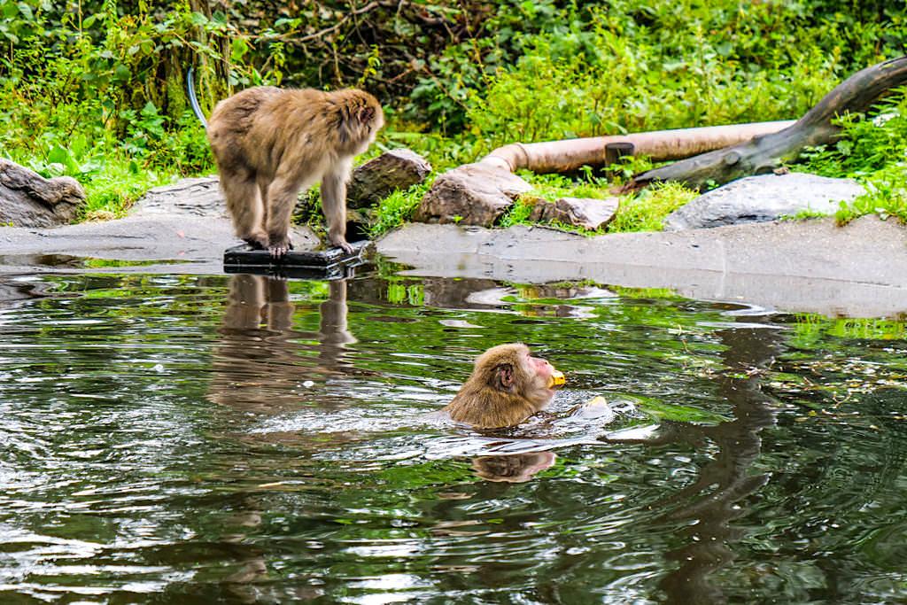 Affenberg Burg Landskron - Anders als viele andere Affen, lieben es die Japanmakaken im Pool zu schwimmen - Kärnten, Österreich