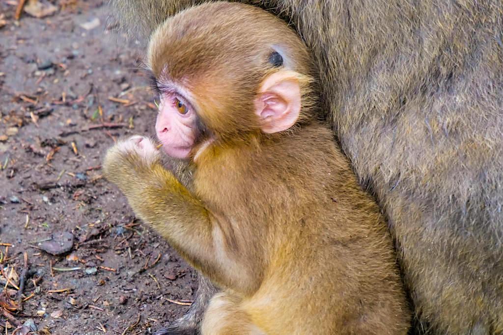 Abenteuer Affenberg - Kleines Makaken-Baby schmiegt sich an seine Affenmutter - Kärnten, Österreich
